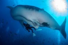 Dr. Rui Matsumoto conducts a whale shark ultrasound (Photo credit: Simon J. Pierce)