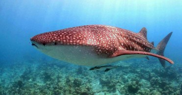 Whale shark by Euro Divers