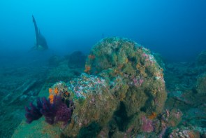 The anchor windlass is one of the more distinguishable features of the Caribsea site, and is covered in beautiful marine life. (Photo credit: NOAA)