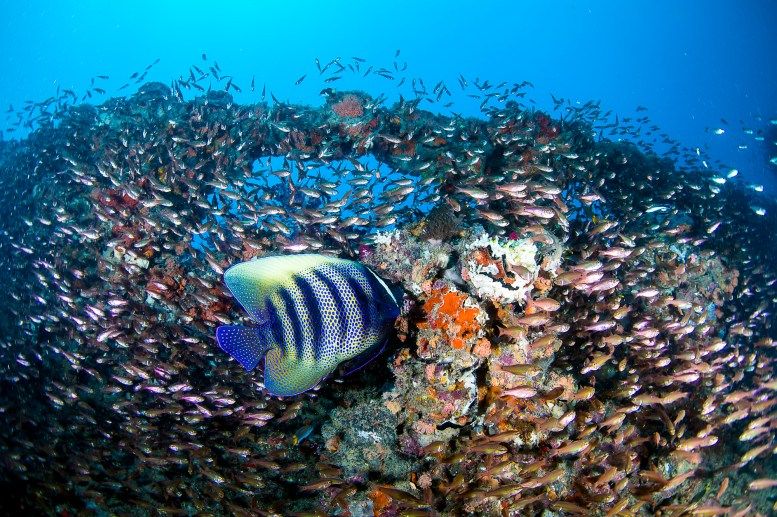 A sixbar angelfish and thousands of tiny baitfish use the wreck for shelter, and as hunting grounds. (Photo: Nadia Aly)