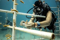 A diver checks a piece of coral at the nursery in Utila (credit: Ashley Kirkham)