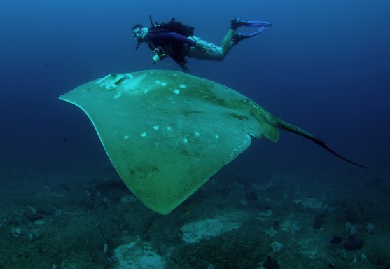 Diver and smalleye stingray (c) Andrea Marshall, Marine Megafauna Foundation