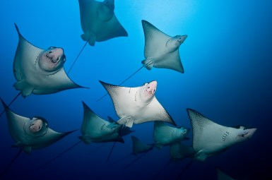 How about a school of eagle rays? (Credit Edwar Herreno)