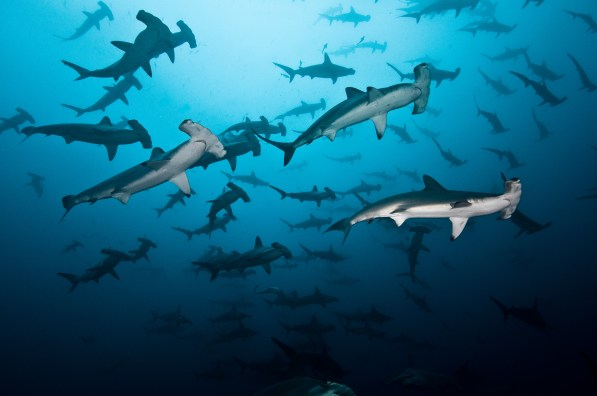 This is what we all came to see - giant schools of hammerheads. (Credit Edwar Herreno)