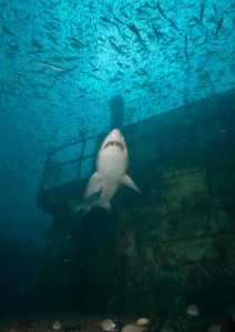 A sand tiger shark swims around the wreck of U-85. (Photo: NOAA)