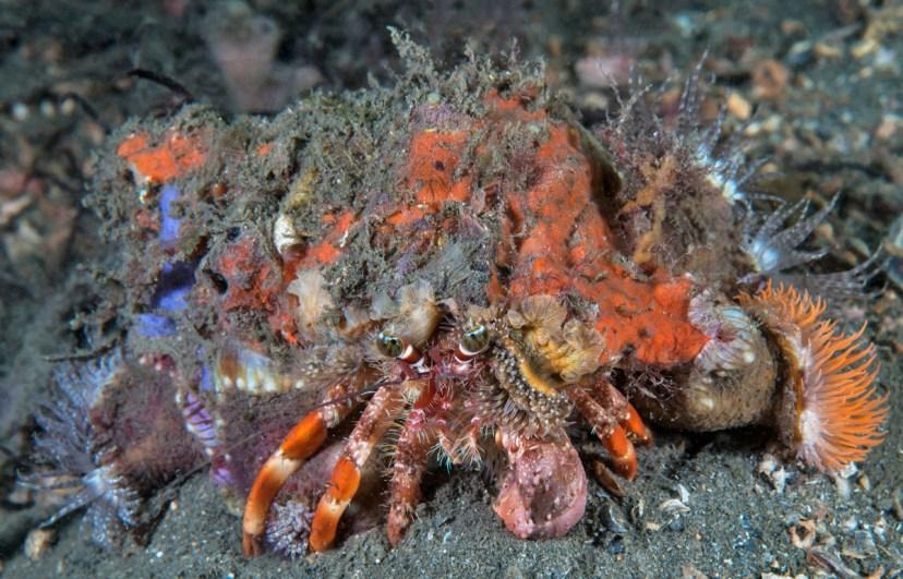 Decorator crab in Chowder Bay (Photo: Jayne Jenkins)