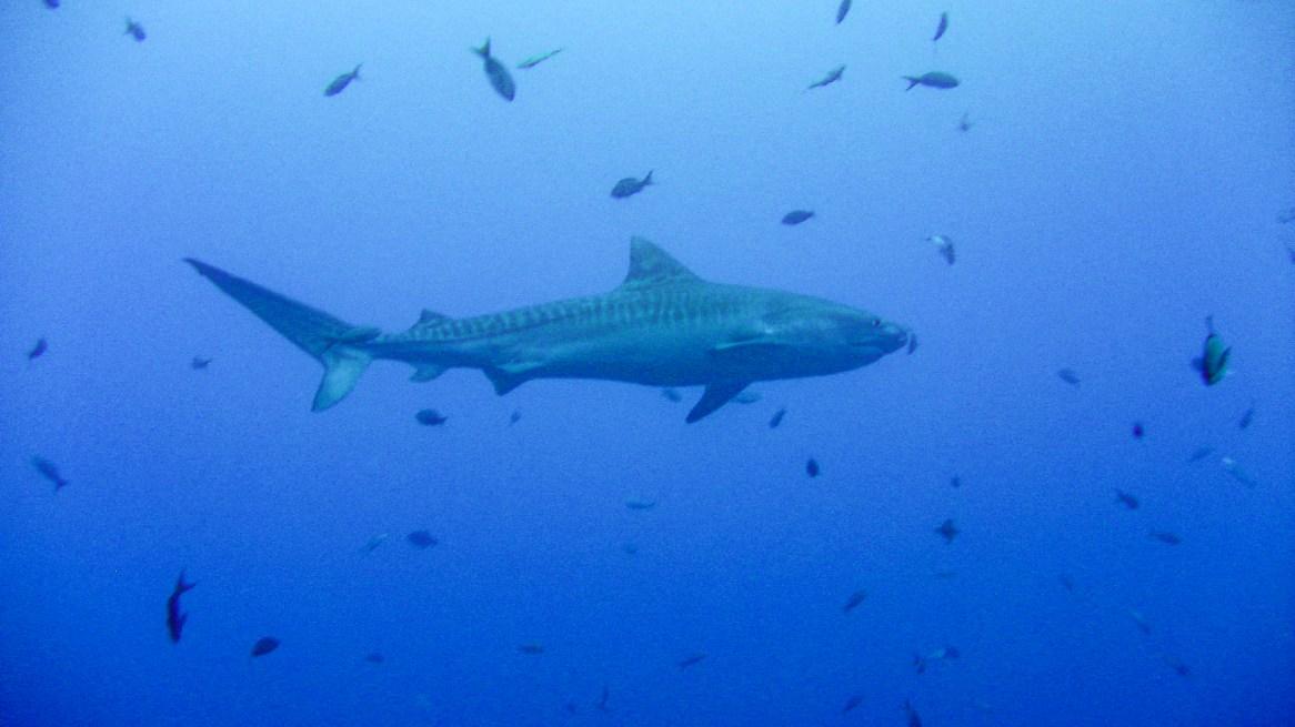 Cocos tiger shark