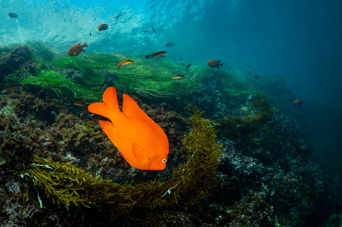southern california sea life garibaldi