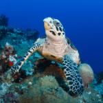 turtles of Papua New Guinea
