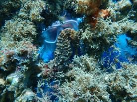 whites seahorse