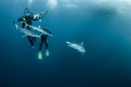 blue and mako sharks