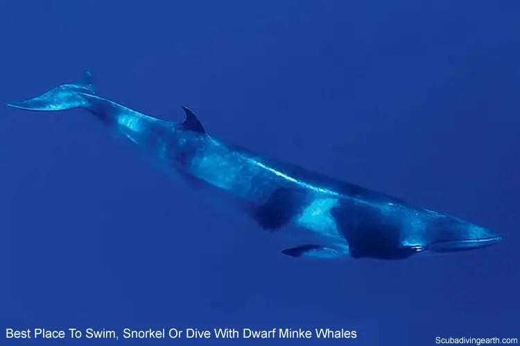 best place to swim snorkel or dive with dwarf minke whales scuba