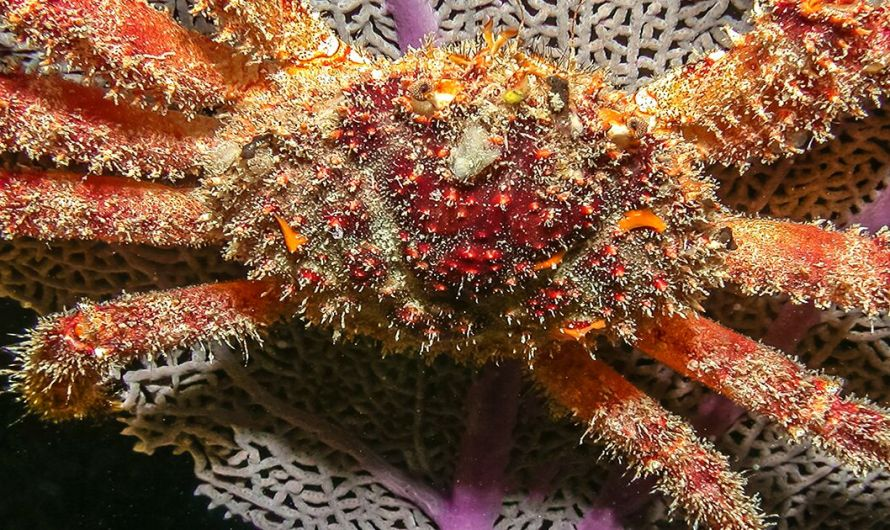 Giant Seaweed-Eating Crabs Could Help Revive Florida Keys Corals