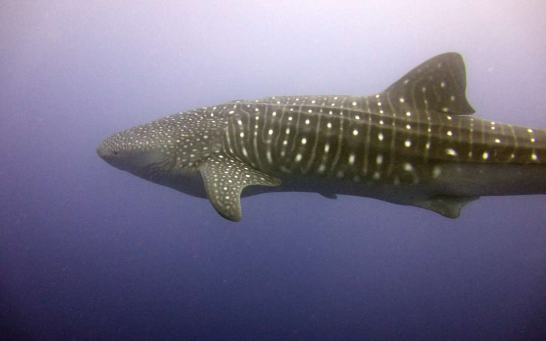 Whales shark at Cocos Island