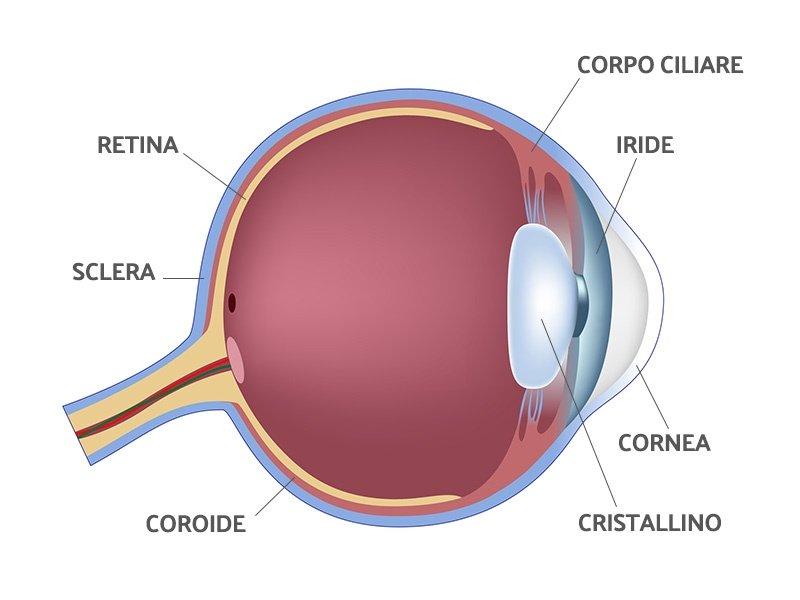 anatomia breve occhio