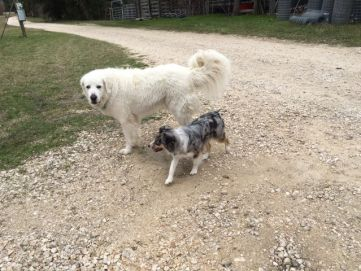 Belle meeting Jack, our Great Pyrenees, while on one of her daily walks