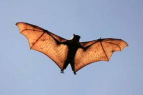 news_flyingbat