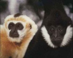 Endangered apes at the Gibbon Conservation in Saugus | Photo by J. Zuckerman