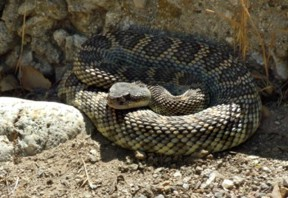 The rattler was just minding its own business.
