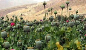 Opium poppy field in Afghanistan