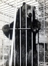 The San Francisco Examiner's Monarch, California's last grizzly, in the zoo at Golden Gate Park in the early 1900s.