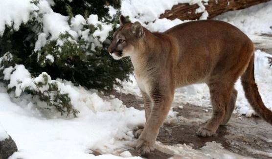 Cougar 7186