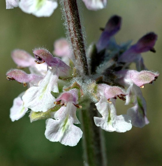 White Hedge Nettle