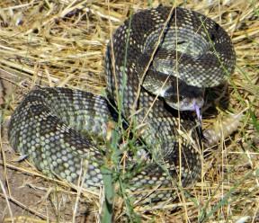 deh_Rattlesnake1