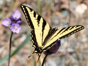 A Western tTiger swallowtail with pollen on head and thorax. Photos by Paul A. Levine.