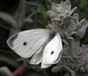 Cabbage white male with wings open displaying the upper surface. The tip of the forewing is covered in a dark gray cap and there is either one (for a male) or two (for a female) spots on forewing. Photos by Paul A. Levine except as noted.