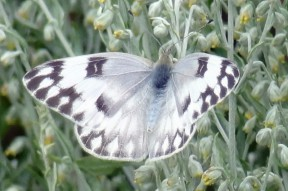 Checkered White female with the heavy markings that are classic for a spring brood.