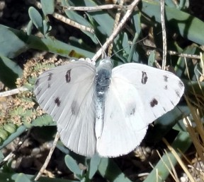 The markings on a male checkered white. This is also the spring brood. The summer brood may be virtually devoid of any markings.