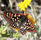 The multiple spots on the variable checkerspot become a distraction, making it difficult for a predator to follow it in flight.