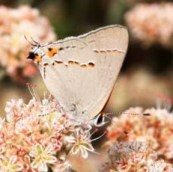 A gray hairstreak sits with its head down. The eyespots on the hind wing and the very fine tails that mimic the butterfly's antenna fool a potential predator into thinking that is the head allowing the butterfly to escape for another day.