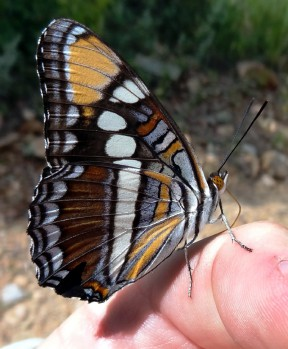 Figure 2: The browns, orange, blues and subtle shading in between represent the colors of individual scales reflecting those colors of the visual spectrum while absorbing the other wavelengths.  The butterfly is the California Sister photographed while hiking Wiley Canyon.  The white color as noted above represents reflection of all the wavelengths of the visual spectrum while the black represents the absorption of all the wavelengths.