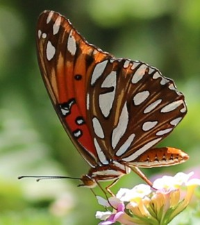 Figure 3:  the undersurface of the wing of a Gulf Fritillary.  The photo does not reproduce the silvery reflectance of these large spots on the undersurface of the wings.