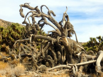 The protracted drought is killing the Joshua trees.