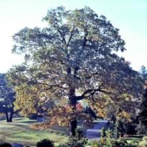 oak-tree21