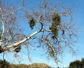 Mistletoe in a sycamore tree at Placerita Canyon near the Nature Center. Photo: Paul A. Levine