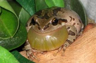 Pacific Chorus Frog 1