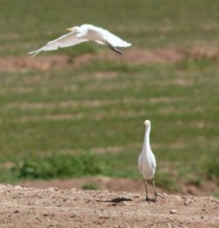 Cattle egrets are smaller than great egrets. This shows one cattle egret flying with the classic S curvature of the neck.