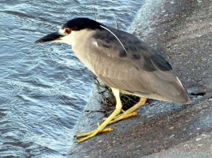 Black-crowned night heron. The eyes are reddish; the long, white head plumes identify this bird as in breeding condition. The neck is not extended and indeed, it appears as if this bird does not have a distinct neck.