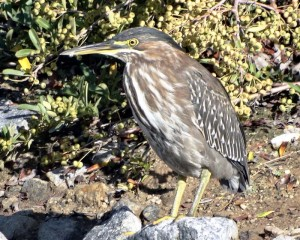 Juvenile green heron photographed by the writer at Bridgeport in Valencia.