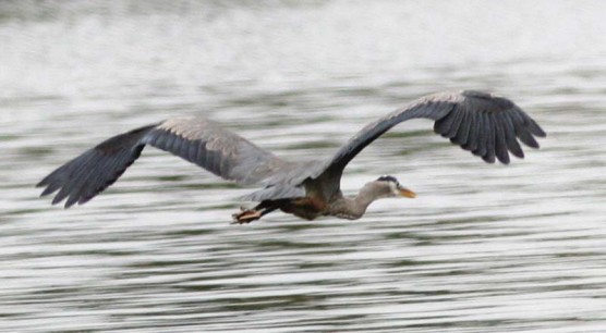 Great blue heron flying. The distinctive curvature of the neck identifies it as a member of the heron family. The legs are held straight back during flight.