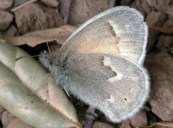 Fig. 4: The California ringlet is camouflaged in various brown hues, enabling it to hide in our tall grasses.