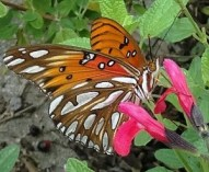 Fig. 5: The Gulf fritillary. The silver spots on the undersurface of the wings are clear, with a space between the two lamina reflecting the light in similar fashion to an air bubble in water, making it appear silvery.