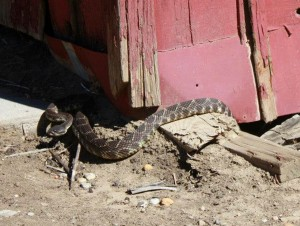 Rattlesnake surprise. Photo by Evelyne Vandersande / Placerita Canyon Nature Center Associates.