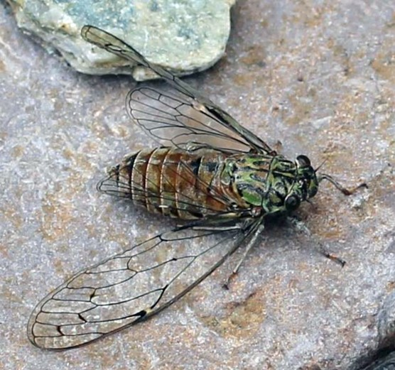 Fig. 10: The left forewing of this adult cicada is deformed, which is why it was on the ground to be photographed. The foreleg that had been modified while it was a larva now appears totally normal.