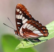 Fig. 3: A Lorquin's Admiral sitting on a leaf appears to have only two legs on one side.