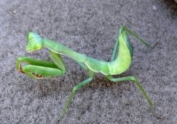 Fig. 5: This praying mantid nymph is using its four hind legs to stand and balance while the forelegs have been modified into pincers to capture prey.